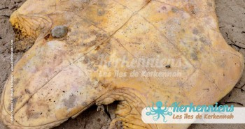 Ventre de Tortue de mer Biodiversité marine massacre de tortues de mer à Kerkennah Tunisie